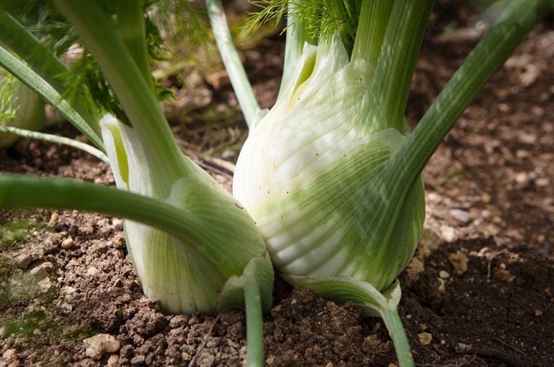 Soluzioni per l'agricoltura - Il finocchio è una delle colture tipiche del territorio siracusano