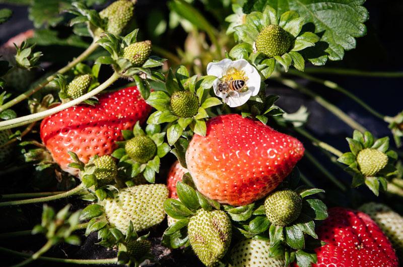 Soluzioni per l'agricoltura - La fragola della zona di Cassibile