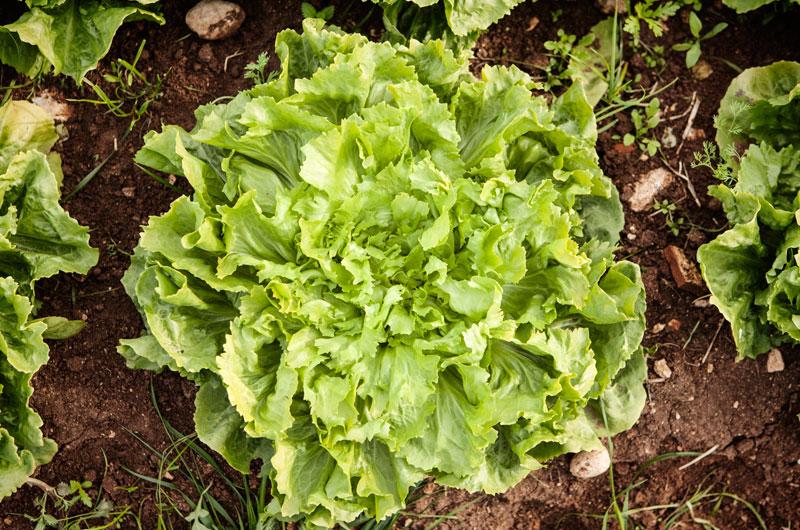 Soluzioni per l'agricoltura - Le buonissime e croccanti insalate coltivate nel siracusano