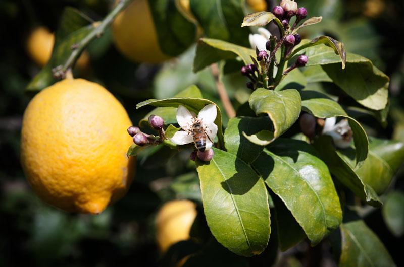 Soluzioni per l'agricoltura - Sua Maestà il Limone di Siracusa IGP